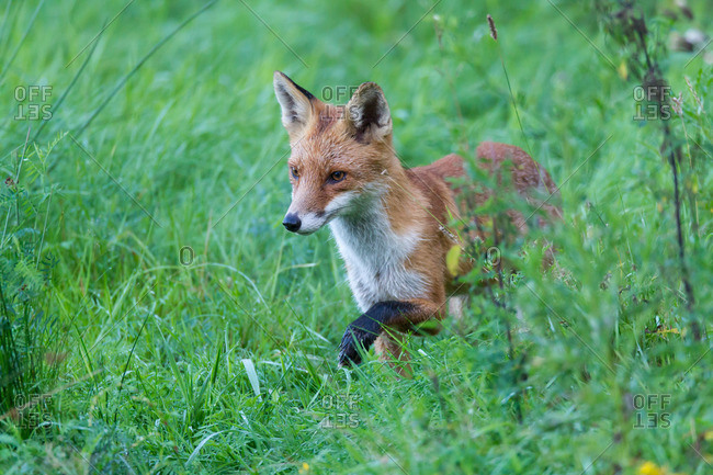 Fox on the hunt in bright green grass