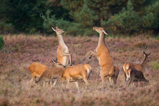 Deerquarrel of the old animals