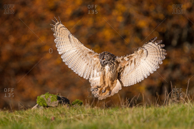 Eagle owl lands with wings wide spread