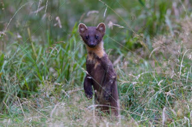Pine marten sits up and begs