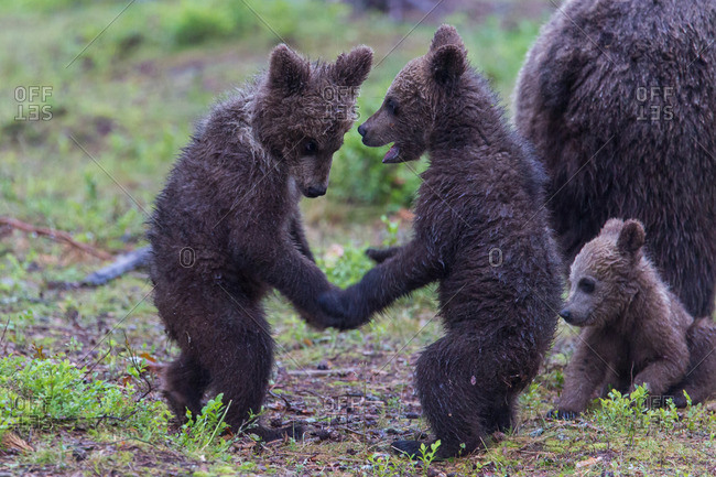 Brown bears, usus arctos, young animals play