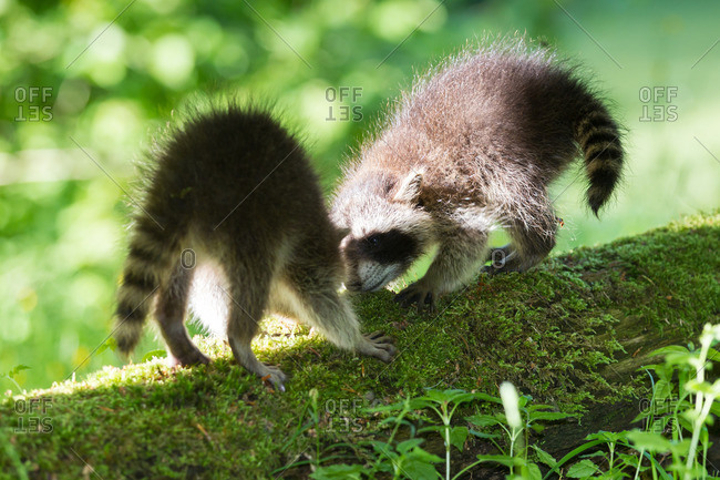 Two young raccoons on tree trunk