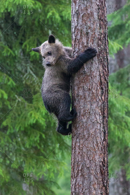 Brown bear, usus arctos, cub on tree