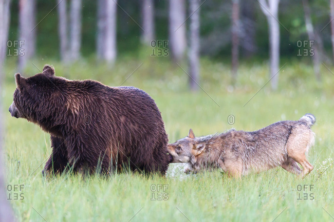 Wolf attacks brown bear in the wild