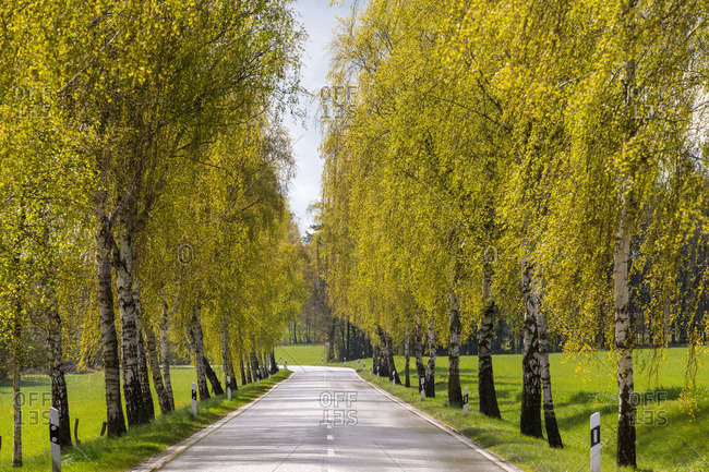Avenue lined by birch trees