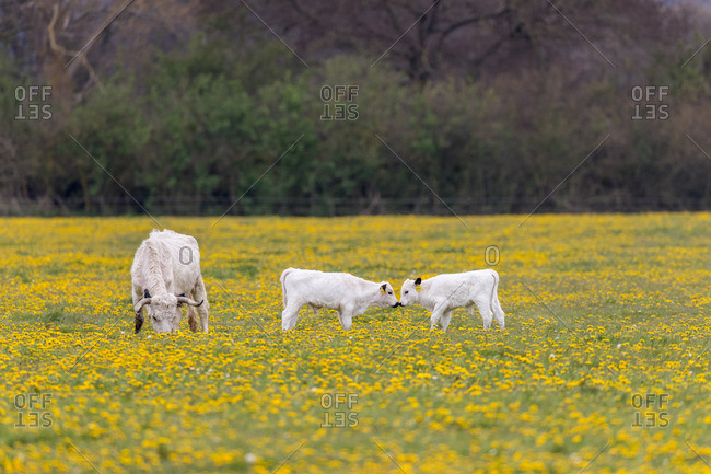 English park cattle on the pasture, dandelions
