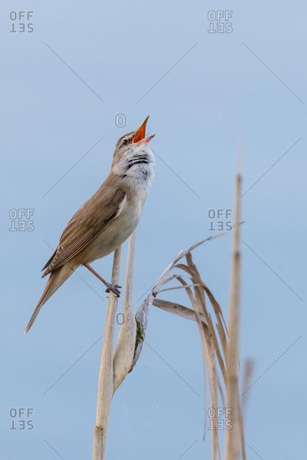 Great reed warbler, acrocephalus arundinaceus, songbird