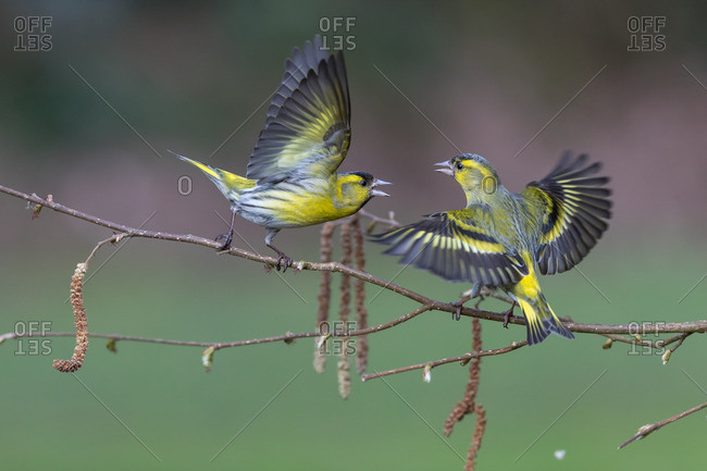 Quarreling siskins on a small branch