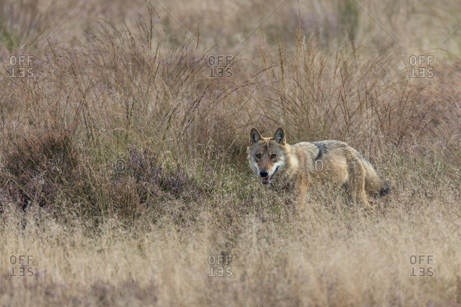 Wolf in the wild, moor grass