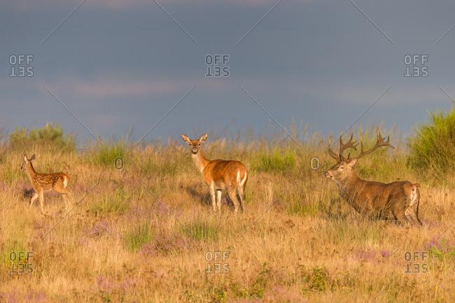 Group of red deer, rutting season