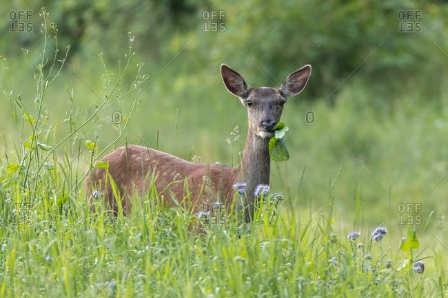Red deer, hind calf hiding in tall grass
