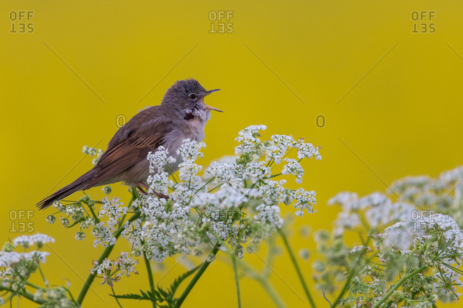 Whitethroat on song post with white flowers and yellow background