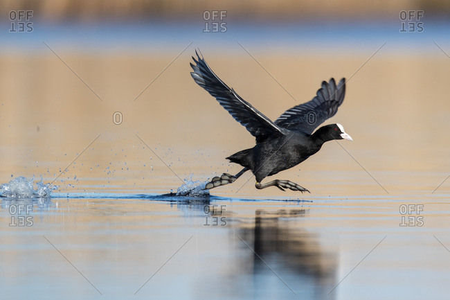Coot flying up from the water