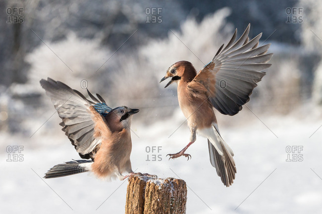 Two jays quarreling with wings up