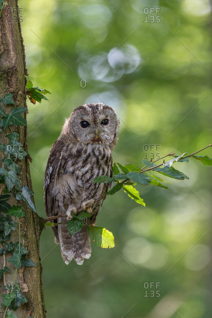 Tawny owl perching on a branch