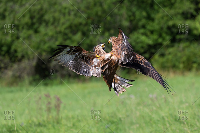 Two red kites fighting in mid air