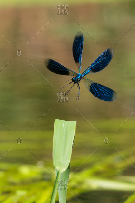 Action shot of beautiful demoiselle in flight