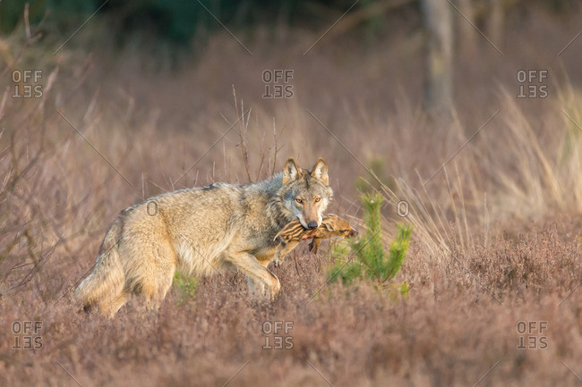 Wolf running off with fresh caught prey