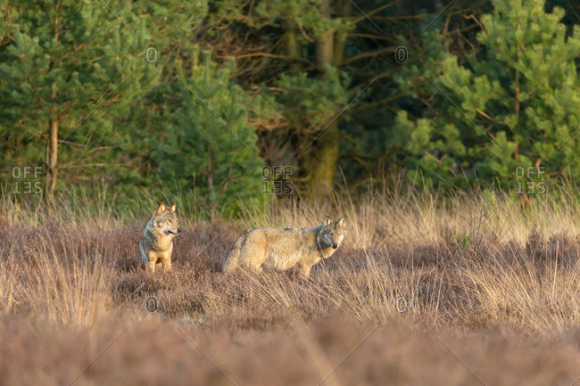 Two wolves in the heathland