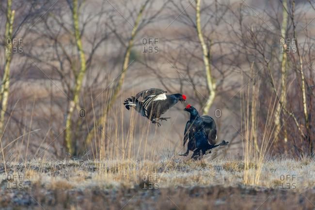Blackcock display in the Luneburg heath