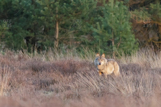 Wolf in the heathland on a cool day