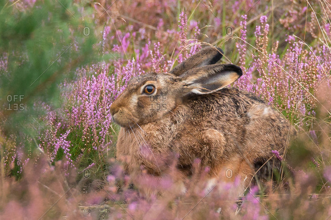 Close-up of hare in flowering heather