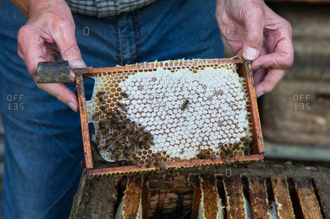 Beekeeper holding comb at the hive
