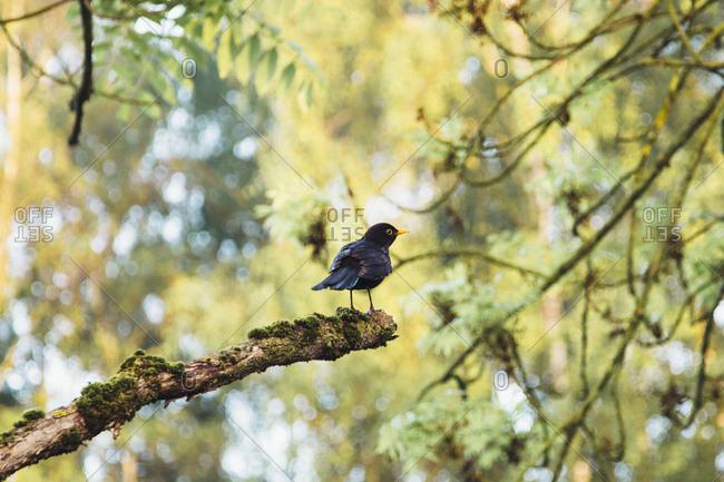 A blackbird sitting on a branch,