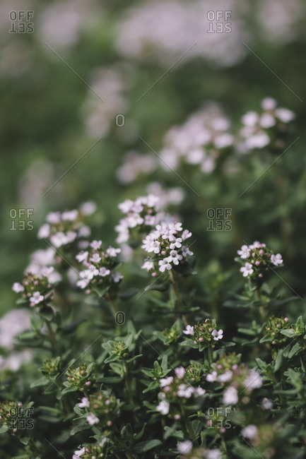 Closeup of blossoming thyme in spring