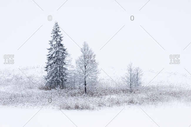 Snowbound trees in the reed belt of the geroldsee, bavaria.