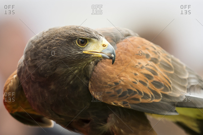 Portrait of a African fish eagle