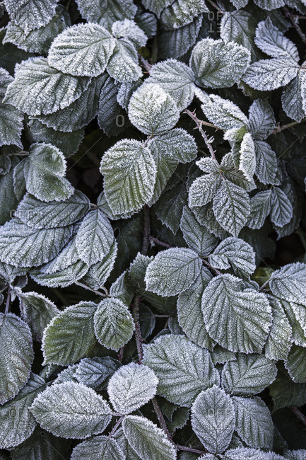 Hoarfrost on blackberry hedge, rubus sectio rubus,