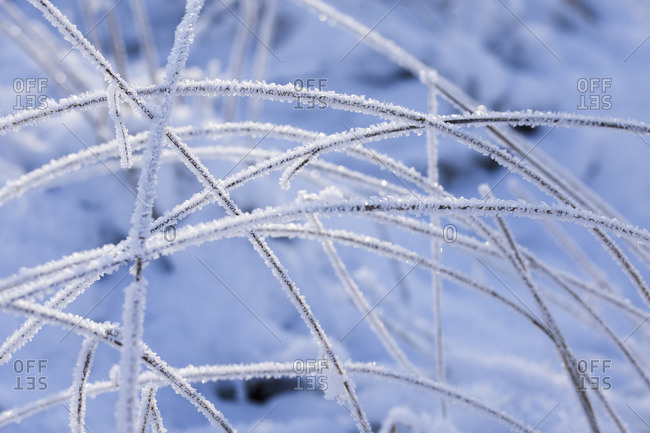 Blades of grass covered with hoarfrost,