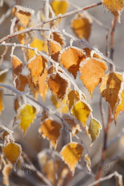 Yellow-colored birch leaves coated with hoarfrost on branches, bremen, Germany, europe