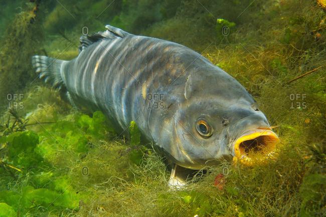 Carp, cyprinus carpio, fish, freshwater fish, baden-wuerttemberg, Germany