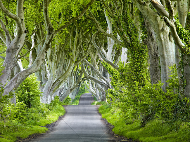 Northern ireland, antrim, balleymoney, delicate beech avenue 'the dark hedges'