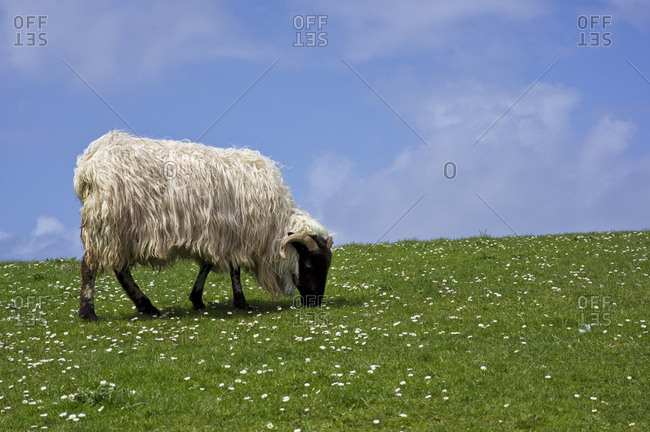 Ireland, county kerry, dingle peninsula, ram eating grass on flower meadow