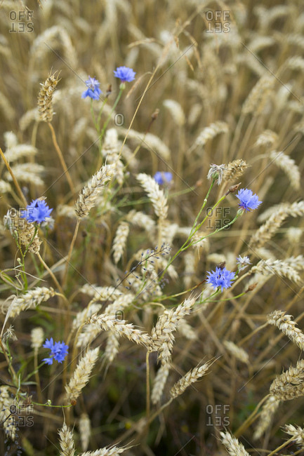 Grain field with blue cornflowers