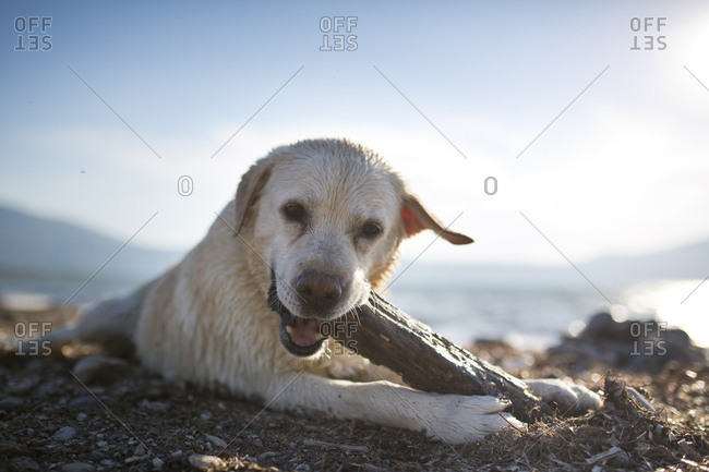 White labrador with wet fur playing with piece of wood on the beach