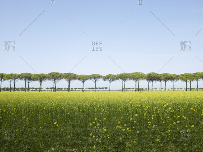 Green field with yellow blossoms and a pine row in the horizon