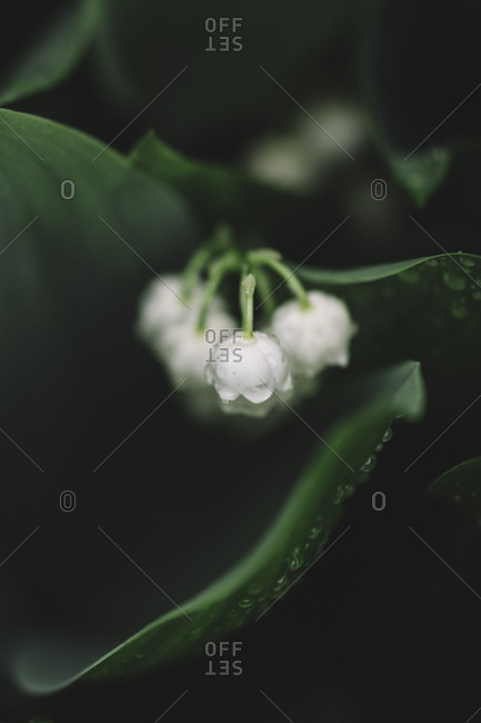Lily of the valley blossoms, close-up