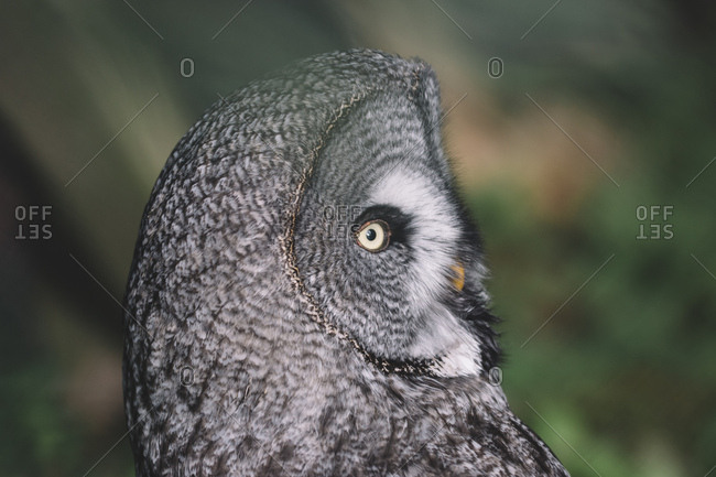 Portrait of a great grey owl,