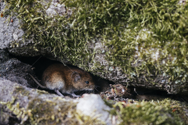 Mouse in the teutoburg forest,