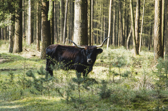 Highland cattle in the teutoburg forest,