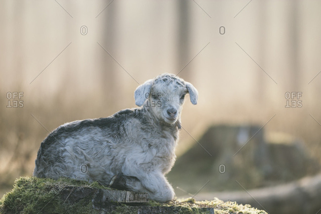 Young goat in the teutoburg forest,