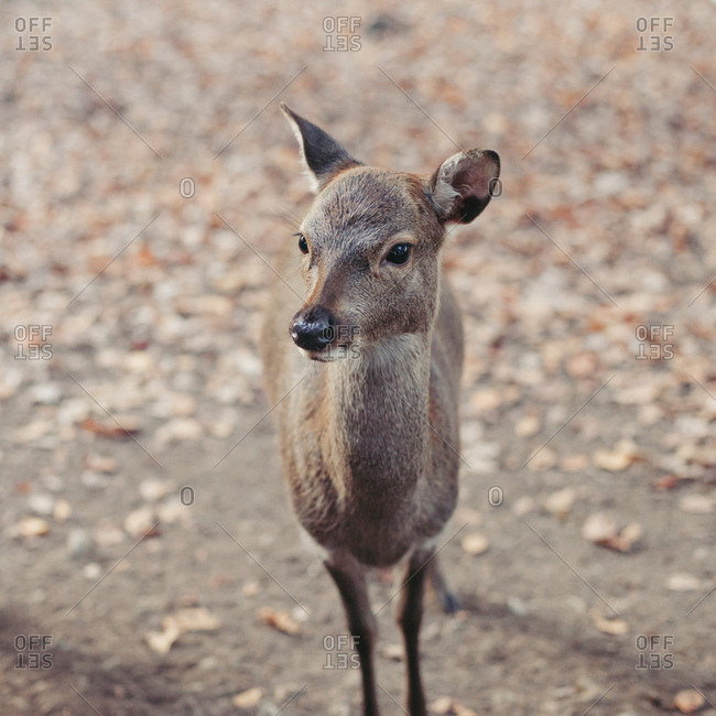 Portrait of a fallow, deer young animal