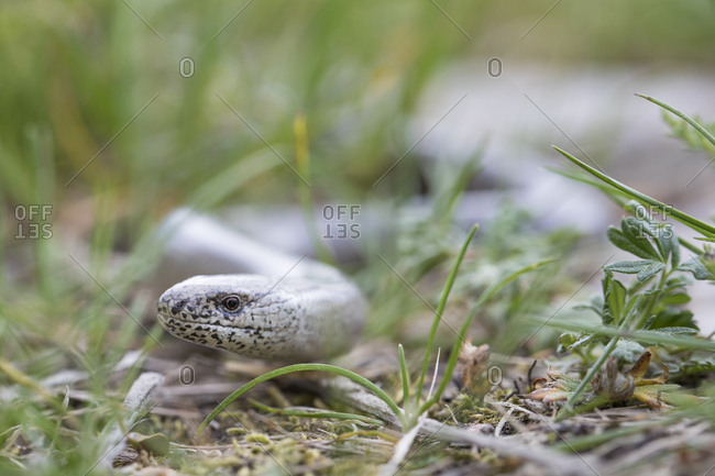 Blindworm snake in grass, anguis fragilis, portrait