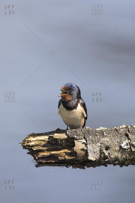 Swallow, hirundo rustica, single, on branch, shouting