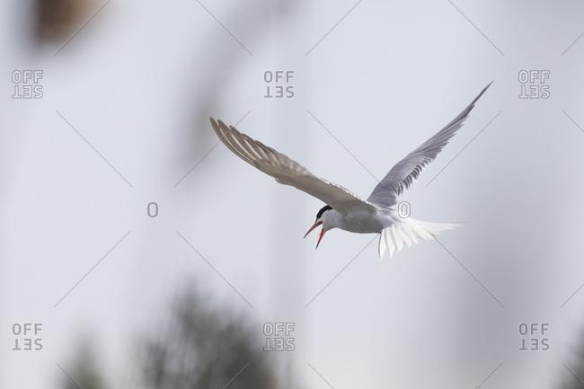 Common tern, sterna hirundo, flying, screaming