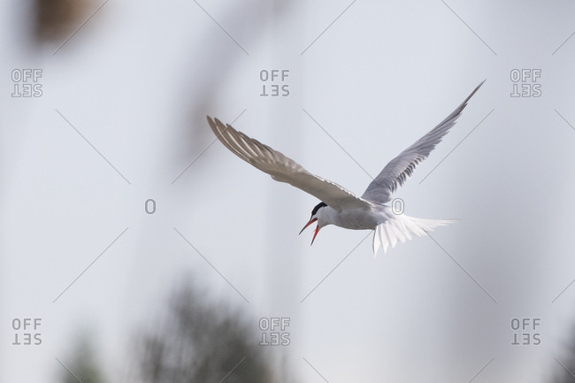 Common tern, sterna hirundo, flying, screaming